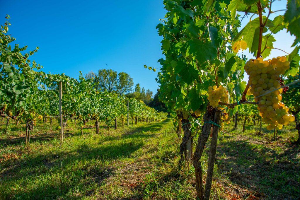 vigne ed ecosostenibilità del pupillo